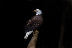 Bald eagle perched on stump against black. Background Stock Photos
