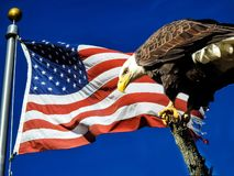 Bald Eagle Perched On Top Of Tree Next To The American Flag