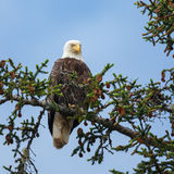 Bald eagle. Perched in a tree Royalty Free Stock Images