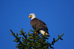 Bald eagle perched on tree Royalty Free Stock Photography