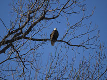 Bald eagle perched in tree Stock Images