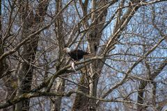 A Bald Eagle perched in a tree with a fish royalty free stock image