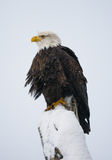 Bald eagle perched on a tree branch. USA. Alaska. Chilkat River. Stock Image