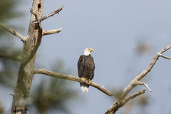 Bald Eagle Perched in Tree Royalty Free Stock Images