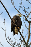 Bald Eagle Perched in Tree Stock Photos