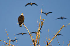 Bald Eagle Perched in a Tree While Geese Fly Overhead Stock Image