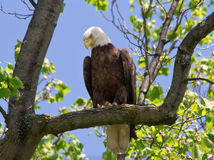 Bald Eagle perched in a tree Stock Photography
