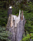 Bald eagle perched on tree stump in forest Stock Image