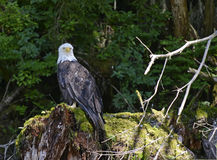 Bald eagle perched on tree stump in forest Royalty Free Stock Photos