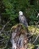Bald eagle perched on tree stump in forest Stock Photos