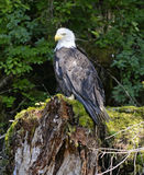 Bald eagle perched on tree stump in forest Royalty Free Stock Photography
