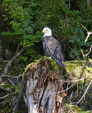 Bald eagle perched on tree stump in forest Stock Images