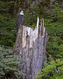 Bald eagle perched on tree stump in the forest Royalty Free Stock Photos