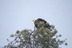 Bald Eagle perched on a tree Stock Image