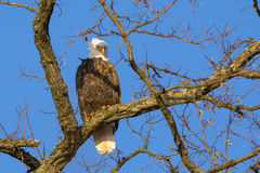 Bald Eagle Perched on Winter Tree Branch Stock Photos