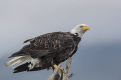 Bald Eagle. A Bald Eagle perching on a branch. Photo taken on August, 2016, Hallo Bay, Katmai National park, Alaska Royalty Free Stock Photos