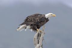 Bald Eagle. Royalty Free Stock Photos