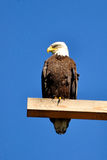Bald eagle perching on a power pole Stock Photography