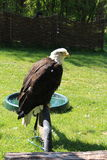 Bald eagle. This photo is from Zoo Jihlava in Czech Republic Royalty Free Stock Photography