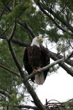 Bald Eagle in Pine Tree Stock Photography