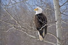 Bald Eagle in Poplartree Royalty Free Stock Image