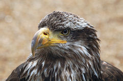 Bald eagle portrait. Close portrait of a young bald eagle staring Royalty Free Stock Photography