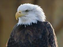 Bald eagle portrait. American bald eagle portrait Stock Images