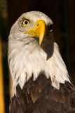 Bald Eagle Portrait Royalty Free Stock Images