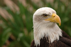 Bald Eagle Portrait. Portrait of a bald eagle in profile. Isolated by shallow depth of field stock photo