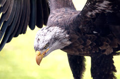 Bald eagle, portrait. Close-up of a young bald eagle with outstretched wings Royalty Free Stock Image