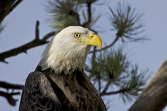 Bald Eagle Portrait. A close up portrait of a bald eagle perched in a ponderosa pine tree Stock Photography
