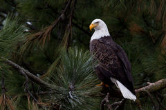 Bald eagle portrait. Closeup of an adult american bald eagle perched on a tree in idaho Stock Photo