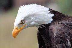 Bald eagle. Portrait of a bald eagle stock photos