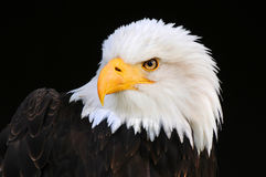 Bald eagle. Portrait of a bald eagle Stock Photography