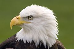 Bald eagle portrait. Profile of a bald eagle royalty free stock photos