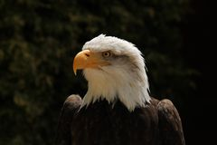 Bald Eagle. Portrait Stock Image