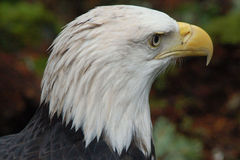Bald eagle portrait. A portrait of a bald eagle Royalty Free Stock Photos
