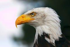 Bald eagle portrait Royalty Free Stock Image