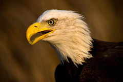 Bald Eagle Portrait. Bald Eagle in early night light Stock Images