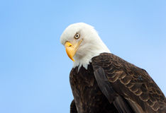 Bald Eagle Portrait , Alaska Stock Photography