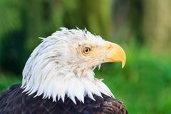 The bald eagle portrait. Beautiful side portrait of the bald eagle Haliaeetus leucocephalus with its white head and yellow beak Royalty Free Stock Image