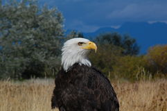 Bald Eagle Portrait Royalty Free Stock Image