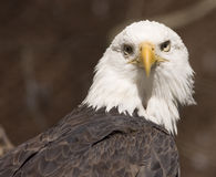 Bald eagle portrait (captive) Stock Photography