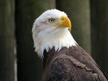 Bald Eagle Portrait Stock Image