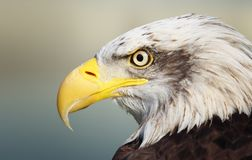 Bald eagle portrait. Close-up of wild bald eagle Royalty Free Stock Images