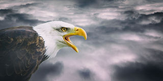 Bald eagle portrait. Portrait of a bald eagle on a cloudy sky Royalty Free Stock Image