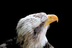 Bald Eagle. Portrait with a dark background Stock Photos