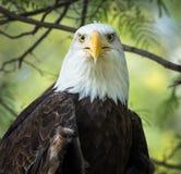 Bald Eagle Portrait - Eyes Looking Forward Royalty Free Stock Image