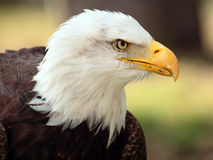 Bald eagle portrait Stock Image