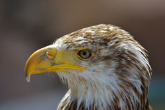 The Bald Eagle  portrait  Royalty Free Stock Image